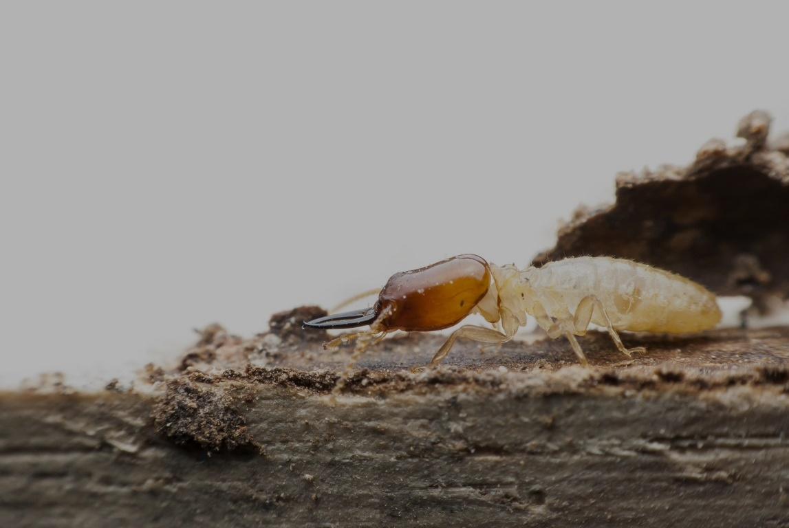 Termite macro on decomposing wood
